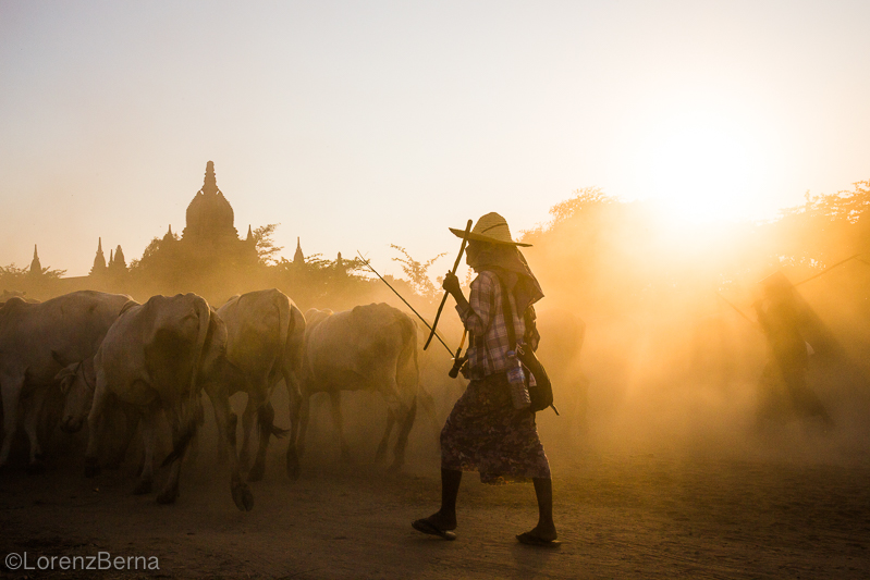 Farmers with cow herds in Bagan temples area, Burma - Picture by Lorenz Berna from the Myanmar Photo Gallery of the Blog Travelphotospirit.com