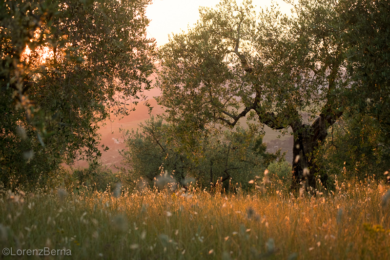Olive trees at sunset in Tuscany, Italy - Picture by photographer Lorenz Berna