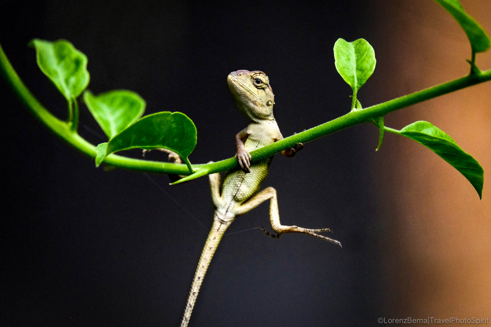 Gecko hanging on a branch of a bougainvillea tree - A Lorenz Berna Travel Photography of Cambodia