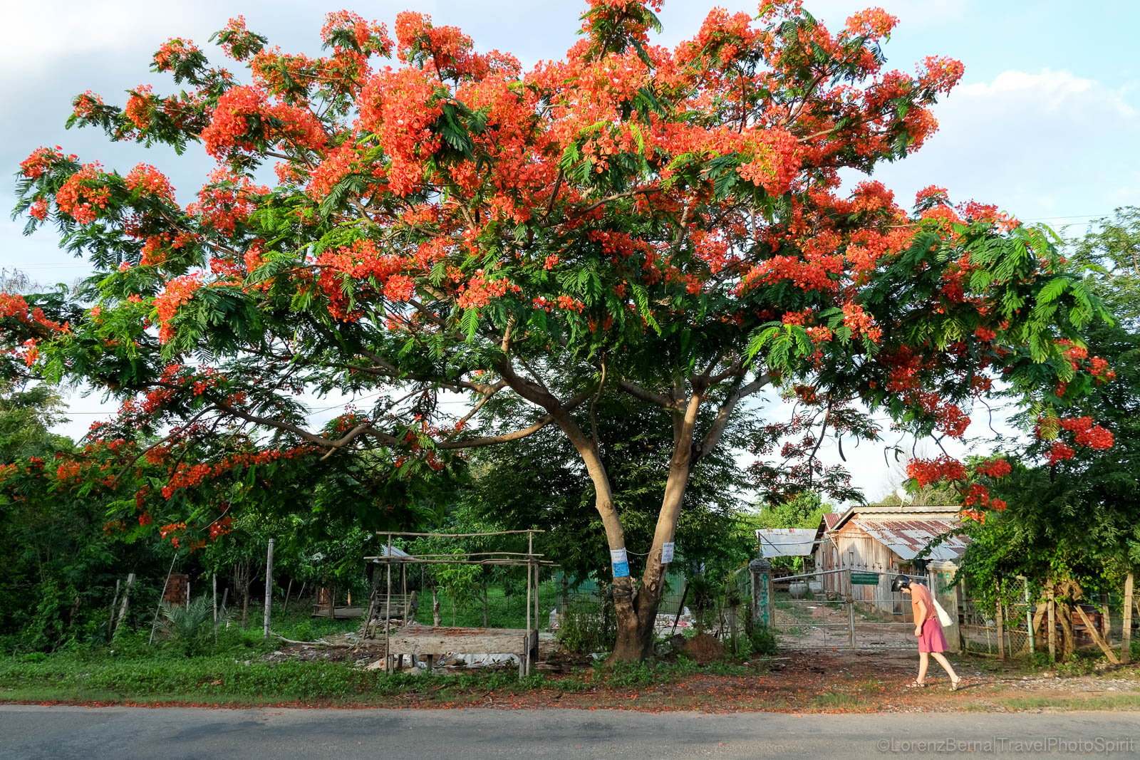 Colourful tree with turist in Kampot countryside, Cambodia