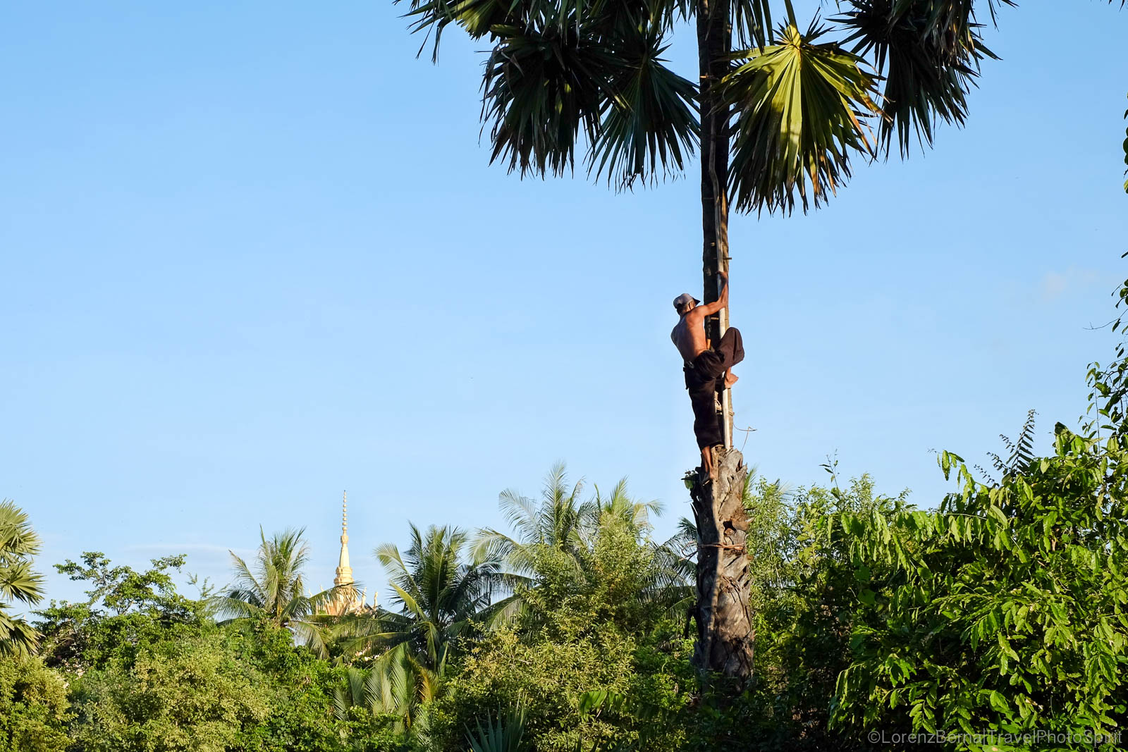 Man on a palm to collect the sugar in Kampot Countryside, Cambodia