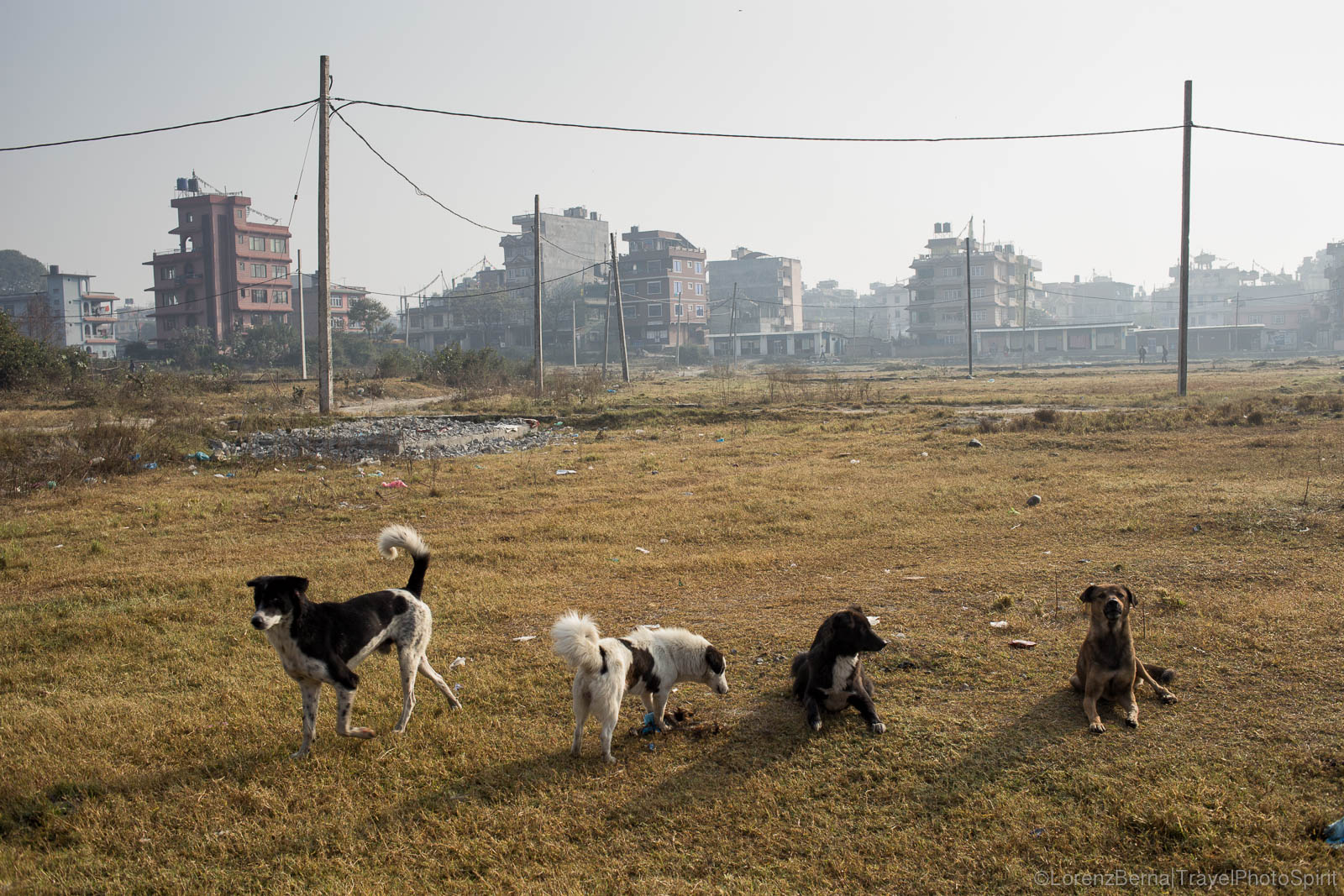 Dogs gang in a wasteland resting from a whole night of wandering, race or fight, in Kathmandu, Nepal.