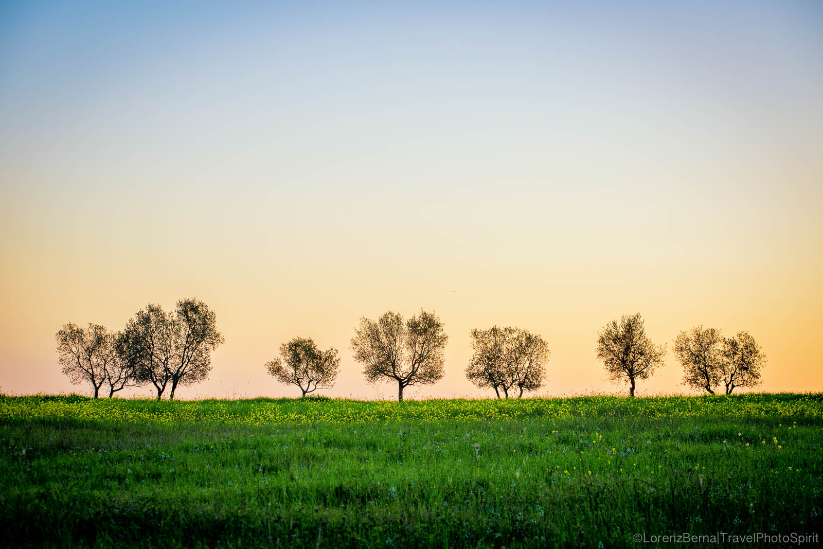 Olive trees in Sunrise, Tuscany, Italy.