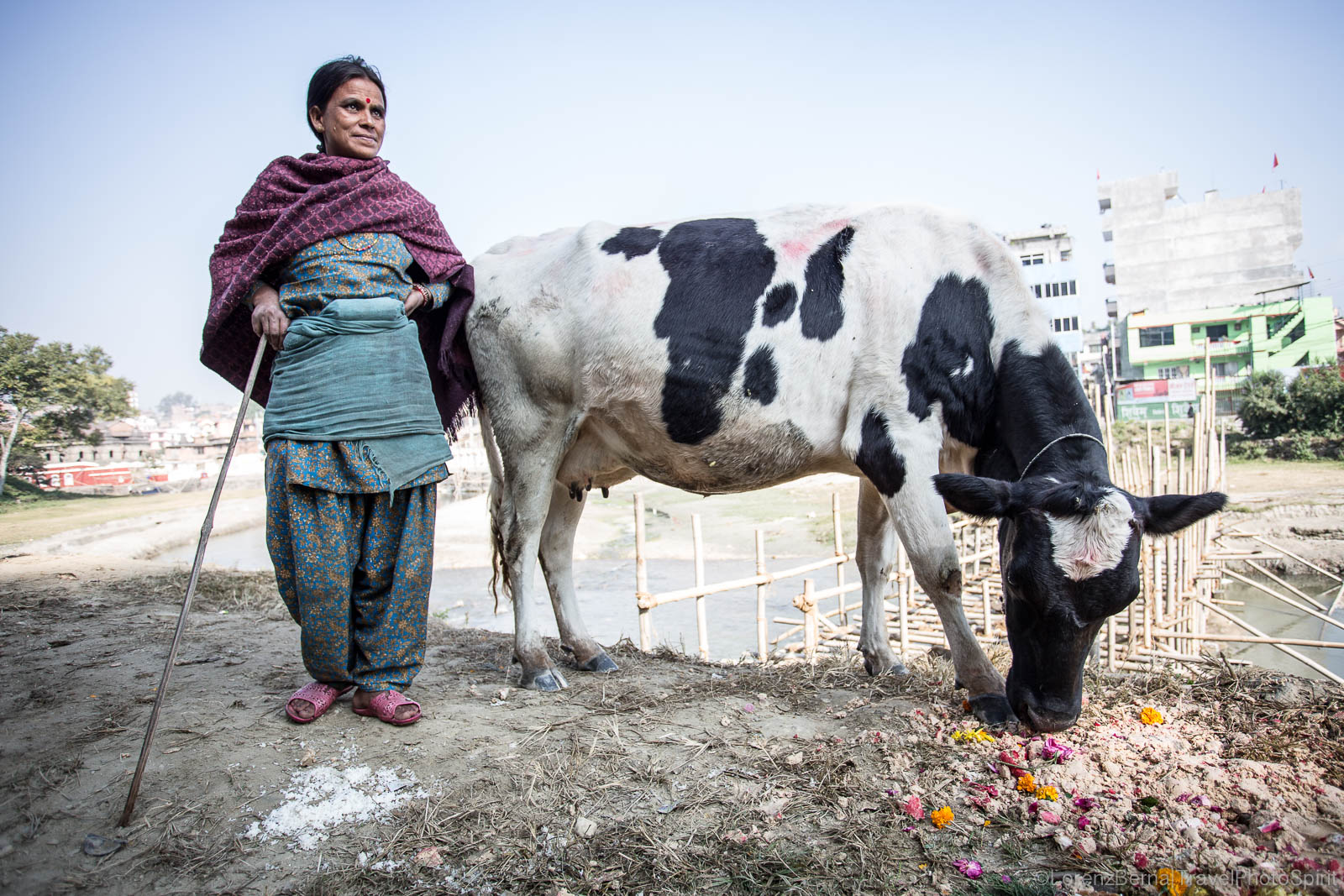Nepali woman with her cow on a feeding walk, in Pokhara.