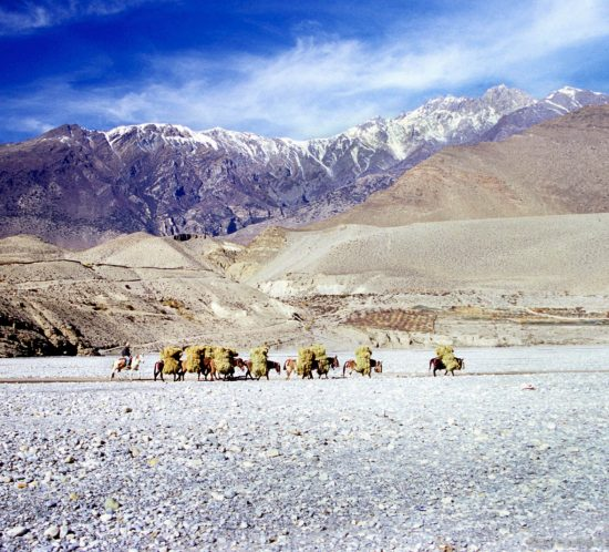 A group of Donkeys transporting hay on the dry riverbed of Kali Gandaki Kagbeni, Mustang Border.