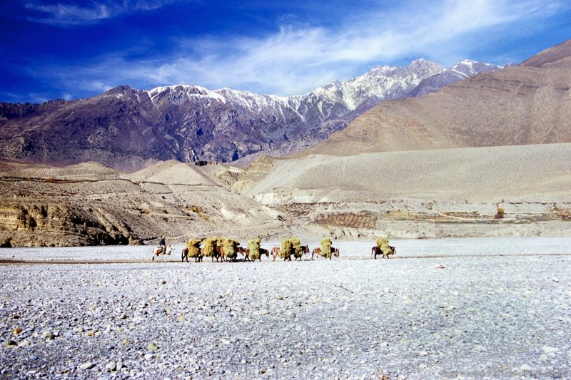 Nepal photos | Group of Donkeys transporting hay on the dry riverbed of Kali Gandaki Kagbeni, Mustang Border, Nepal.