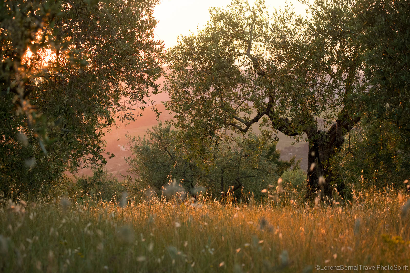 Ancient olive trees at sunset, Tuscany, Italy.