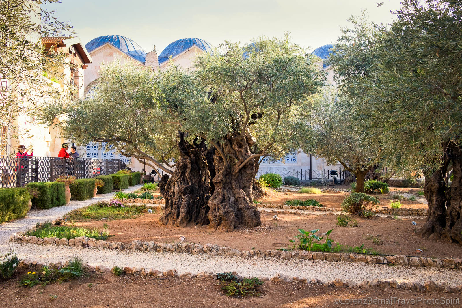Ancient olive tree in Gethsemane, on the Mount of Olives in Jerusalem, Israel.