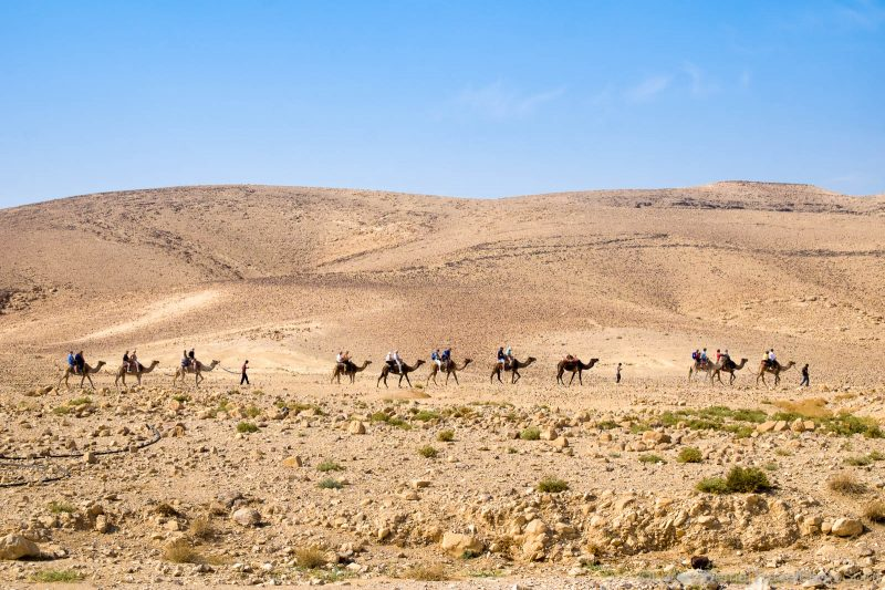 Camels ridings in the Judean Desert of Israel.