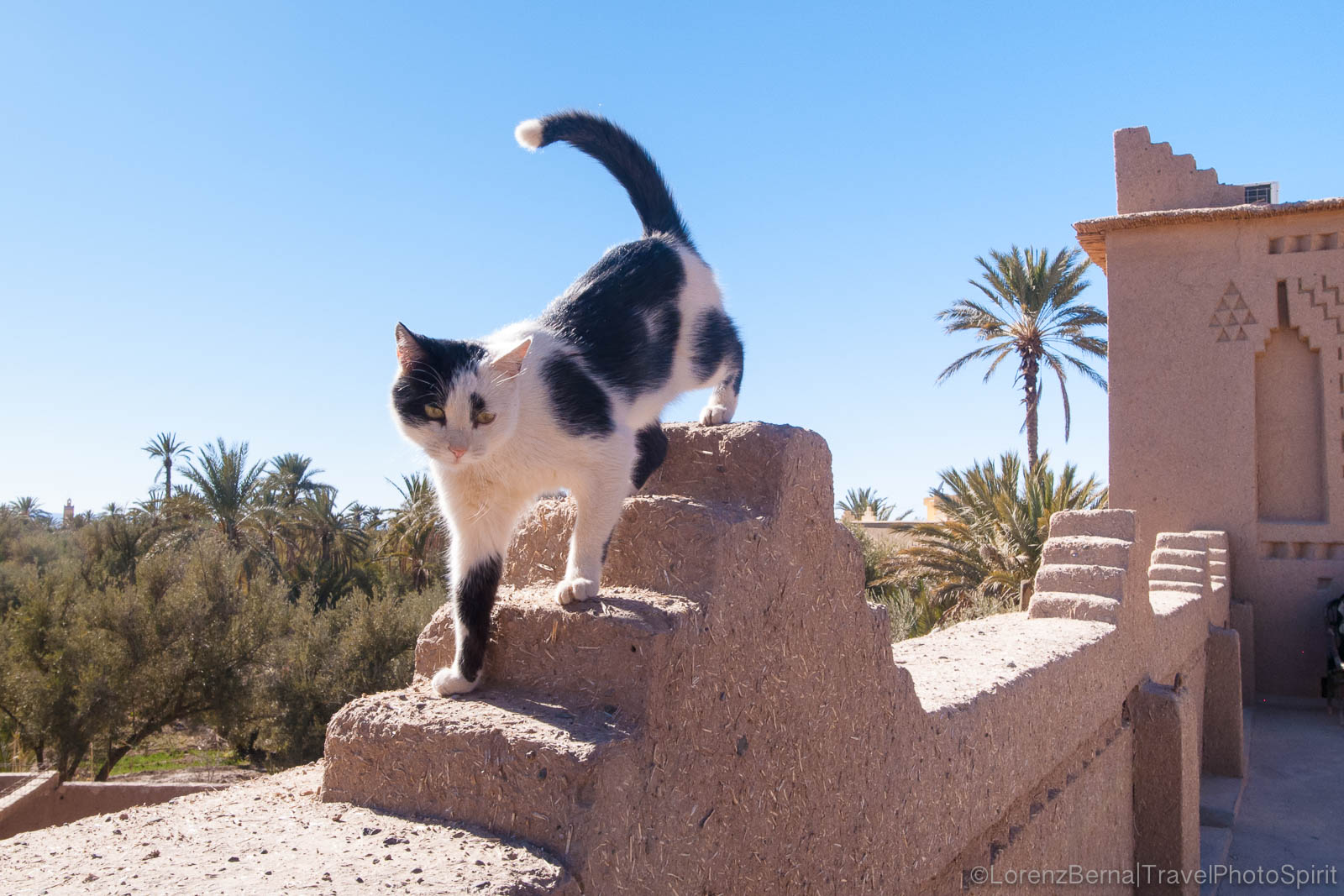A cat is walking on the high walls of the Amerhidl Kasbah in Skoura, Morocco