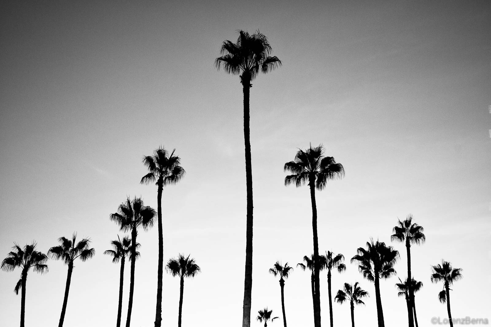 Palm trees in black and white, Morocco