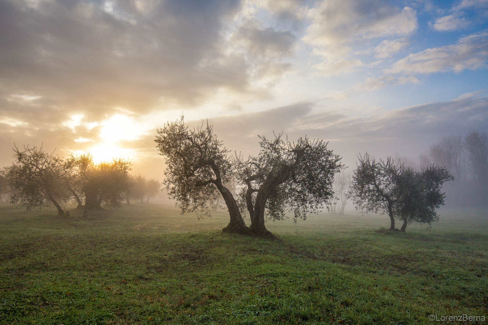 Olive trees in the mist, Chianti, Tuscany, Italy.