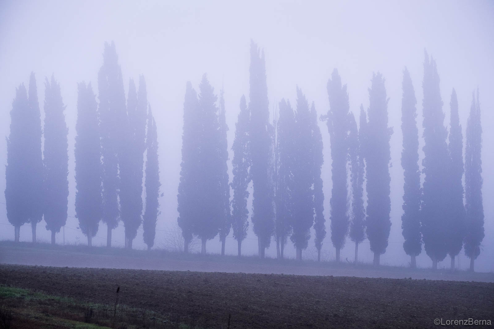 Line of Italian cypresses in the Light of a misty morning.