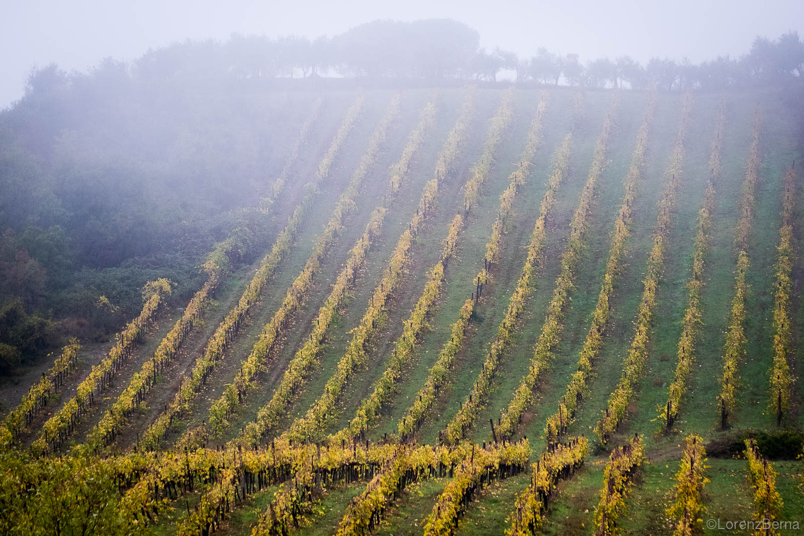 Golden lines of wine fields in autumn in Chianti, Tuscany, Italy